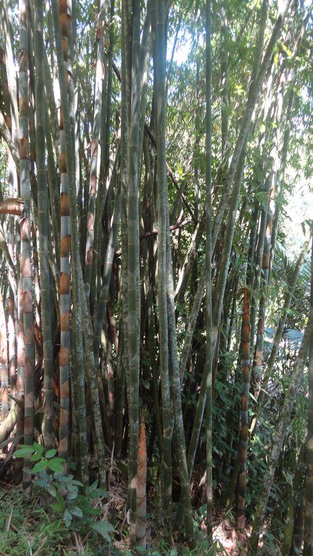 Bambu Sri