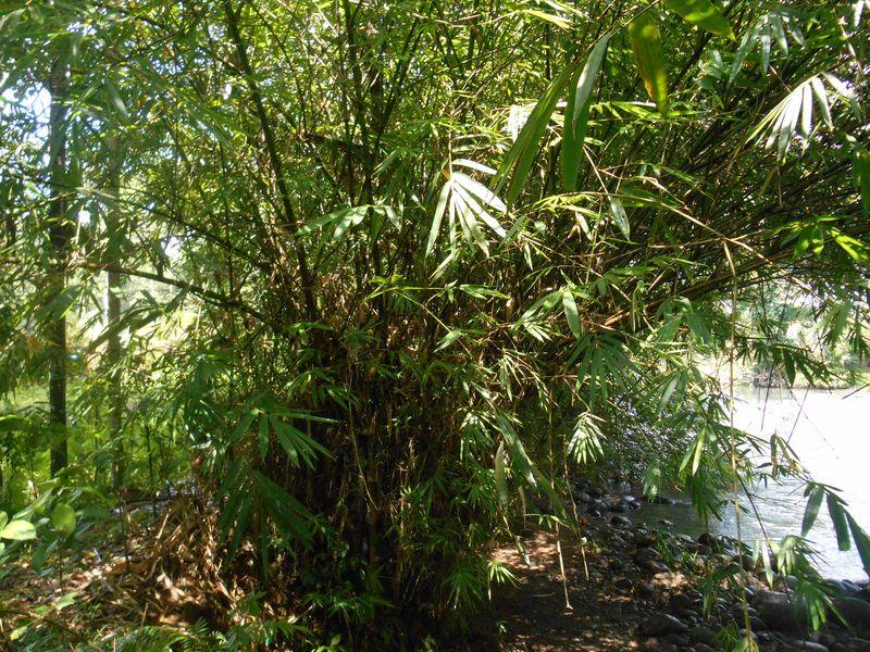 Bambu Hitam<br>