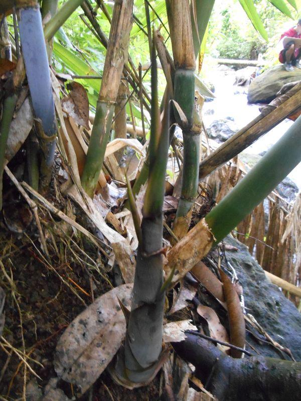 Bambu Mumbuh