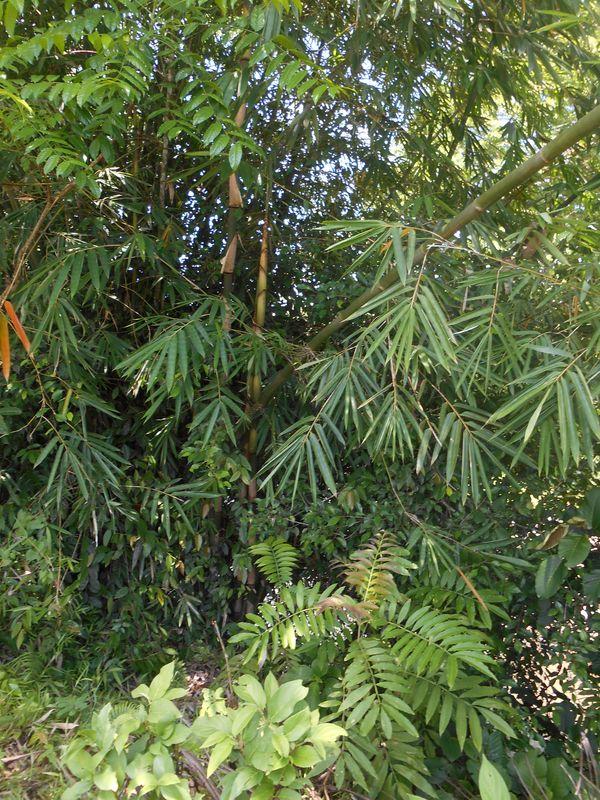 Bambu Mayan