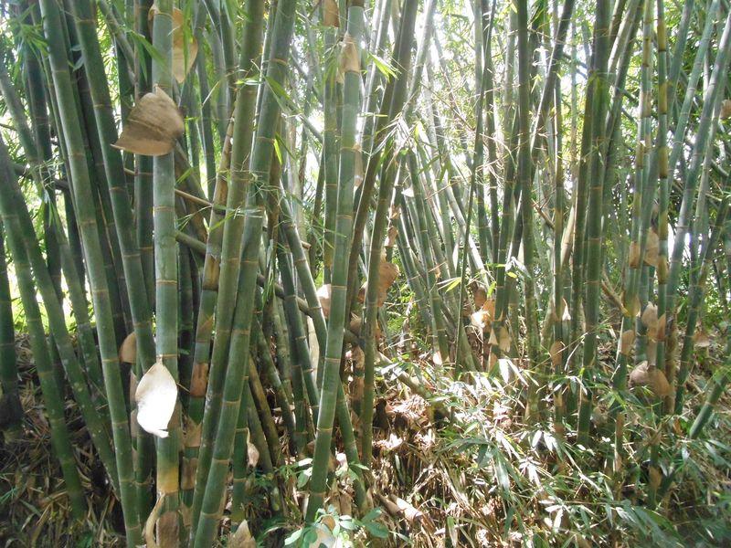 Bambu Dabuk