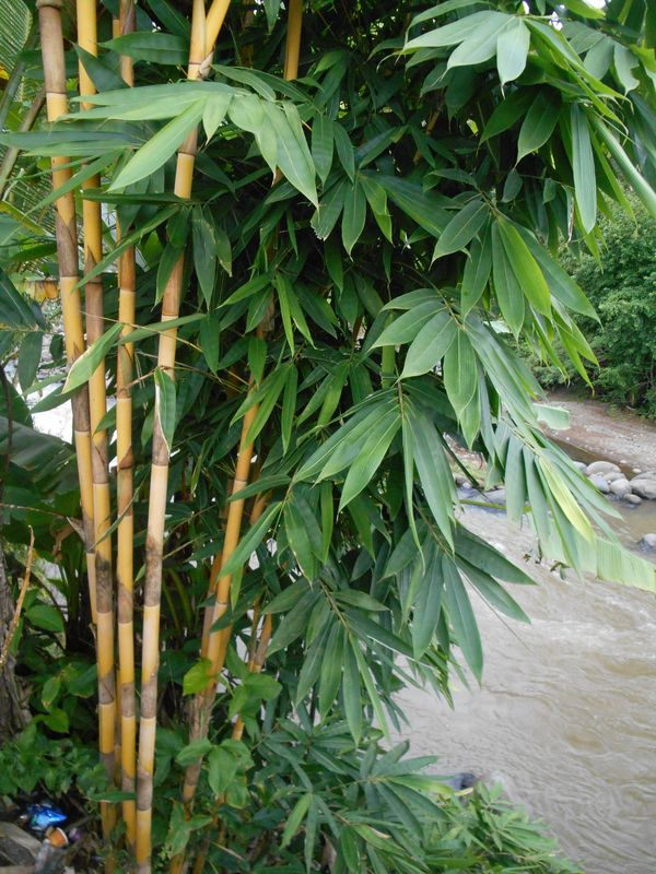 Bambu Gading