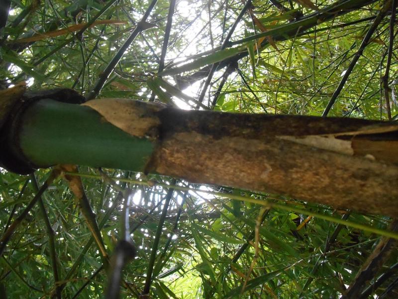 Pelepah, bentuk pelepah bambu ampel<br>