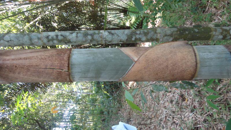 pelepah,Batang bambu serik