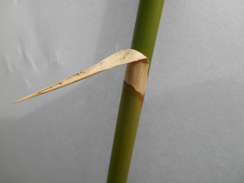 Pelepah bambu cina