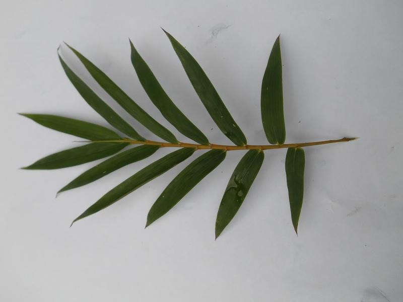 Daun bambu cina