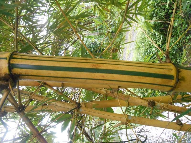 Batang, warna batang, permukaanbambu kuning