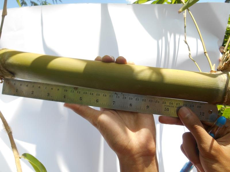 batang bambu mayan