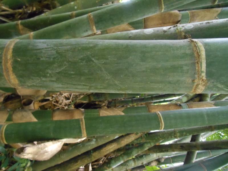 Batang bambu dabuk