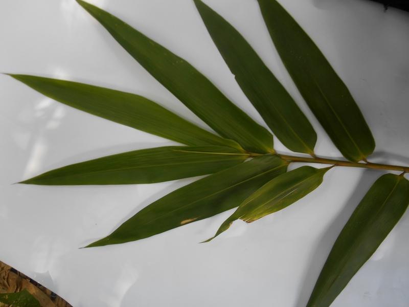 daun bambu dabuk