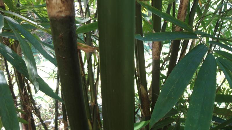 batang bambu kapal