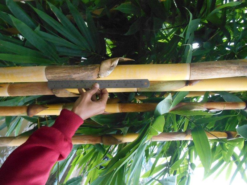 batang bambu gading