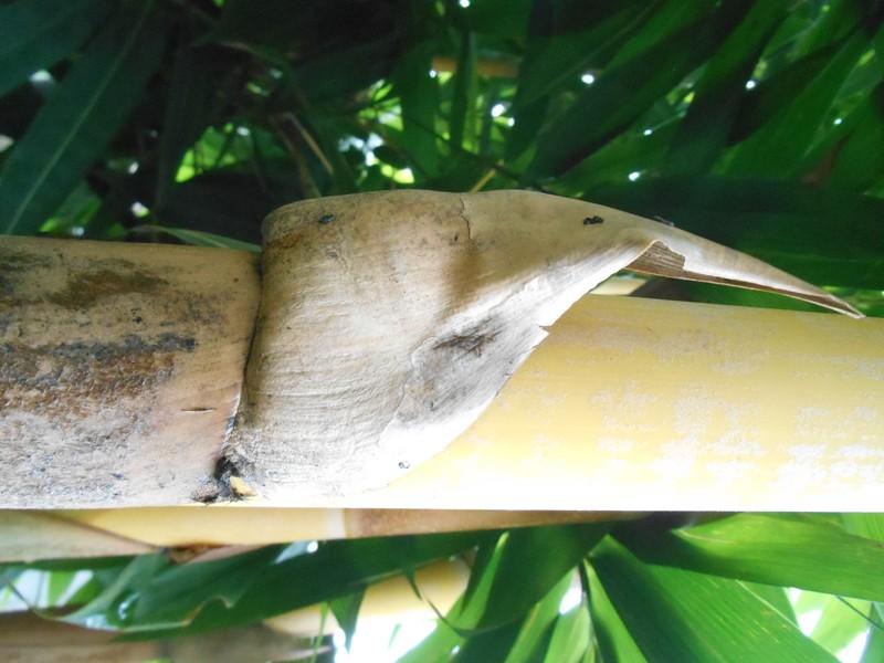 pelepah bulu bambu gading