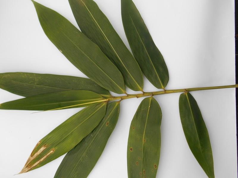 daun bambu gading