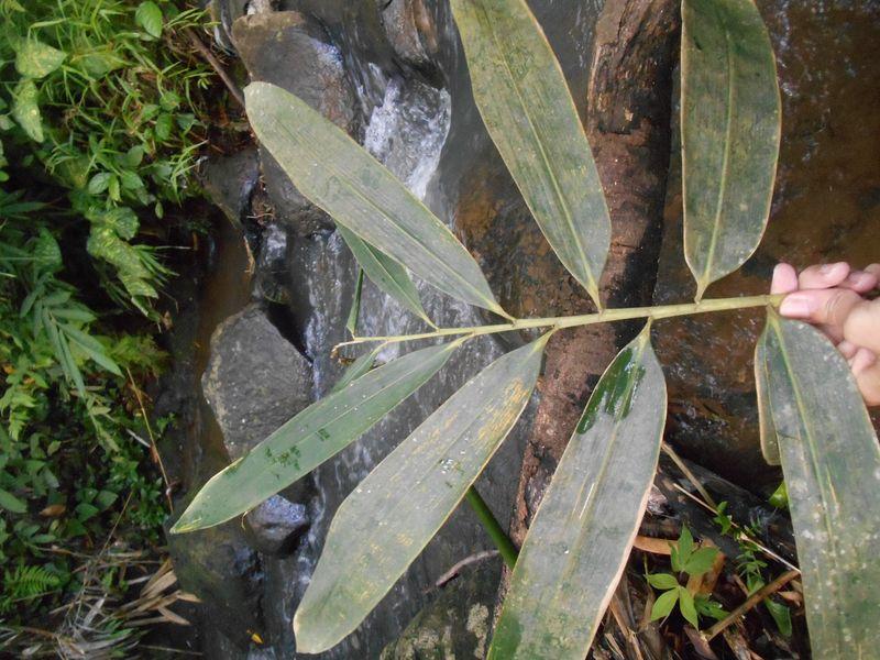 daun bambu