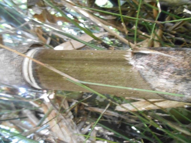 batang bambu hitam