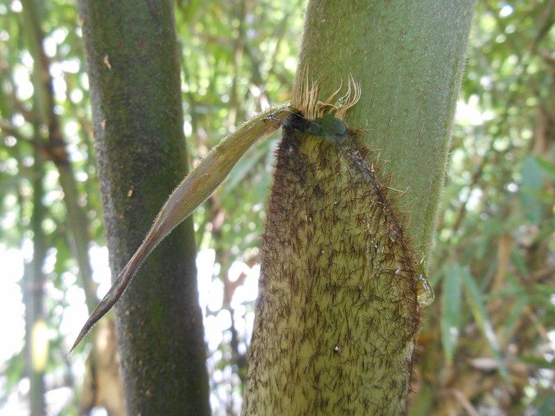 pelepah buluh bambu hitam