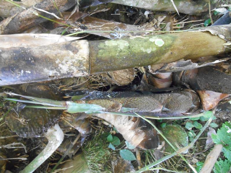 rebung bambu hitam